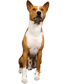 MaNoMiNoKo Basenjis